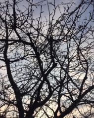 Cerisier a l aube