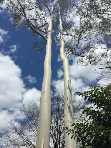 Eucalyptus4