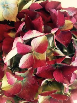Hortensia automne