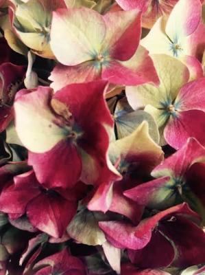 Hortensia automne2