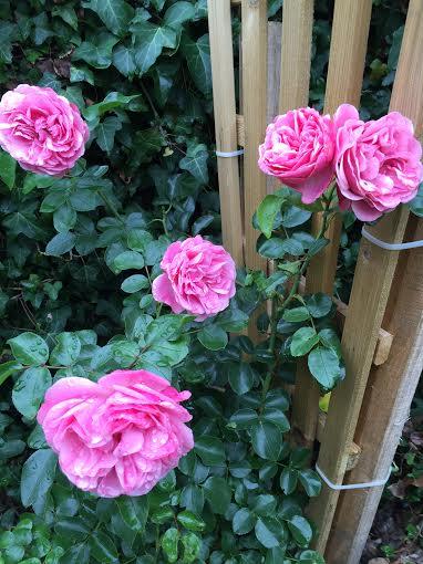 Jardin d ete rose