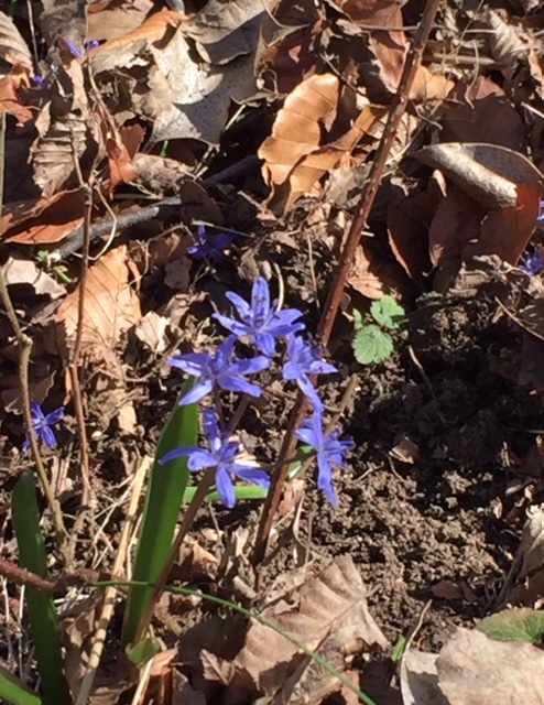 http://jama.e-monsite.com/medias/images/la-scille-a-deux-feuilles-pousse-dans-les-sous-bois-frais-et-forme-de-belles-petites-colonies..jpg