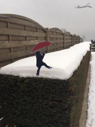 Les ifs blancs parapluie