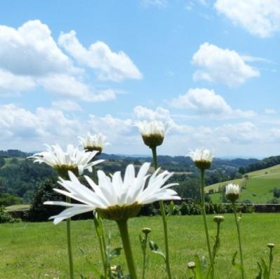 Marguerites et nuages