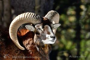 Mouflon noushka