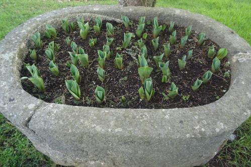 Petites tulipes