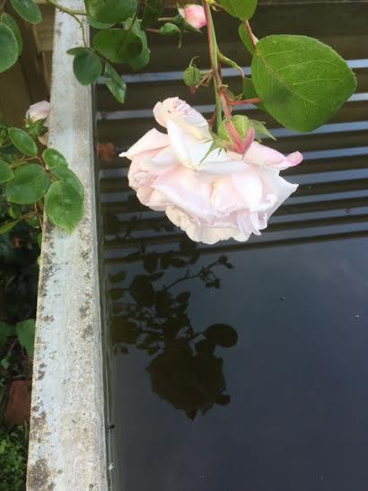 Rose au bassin