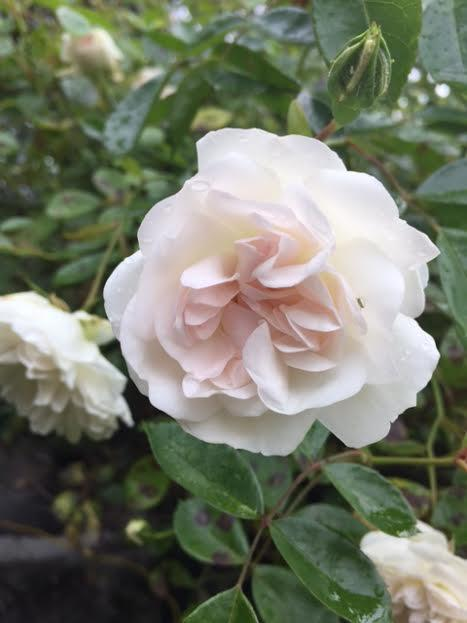 Rose blanche2