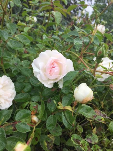 Rose blanche3