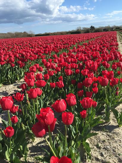 Tulipes a la torche