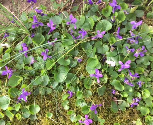 Violettes 1